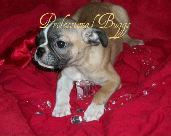 ... puppies adoption application past puppies our boxers our buggs boston
